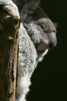 Free Koala Smiling Stock Photos - 2534993