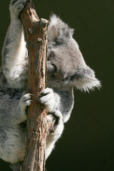 Free Koala Holding A Branch Stock Photography - 2535012