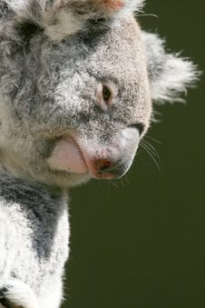 Koala Face Stock Images