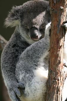 Free Koala Sleeping Royalty Free Stock Photos - 2535098