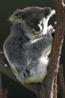 Free Koala Body Sitting Stock Image - 2535121