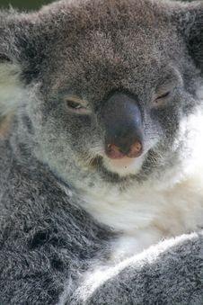 Free Funny Koala Royalty Free Stock Photos - 2535128