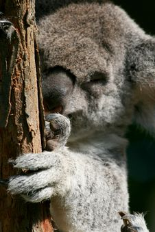 Free Koala Hand Royalty Free Stock Images - 2535149
