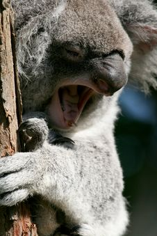 Free Koala Yawning Stock Photography - 2535162
