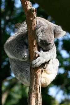 Free Koala Forming A Ball Stock Image - 2535211