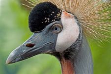 Free Grey  Crowned Crane 02 Stock Photo - 2535470
