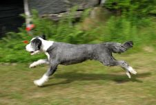 Free Bearded Collie Running Royalty Free Stock Photos - 2536438