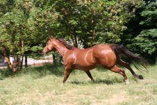 Free Running Horse Royalty Free Stock Image - 2537106