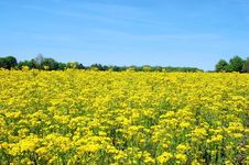 Free Field Of Yellow Royalty Free Stock Photography - 2537477