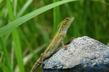 Free A Small Brown Lizard Royalty Free Stock Photography - 2538107