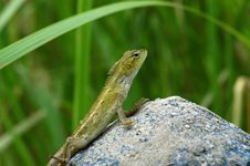 Free A Small Brown Lizard Royalty Free Stock Photos - 2538108