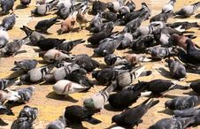 Free Pigeons Royalty Free Stock Photography - 2539917