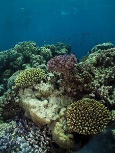 Free Coral. Royalty Free Stock Images - 25301379