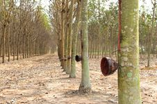 Free Rubber Trees Stock Photography - 25304002