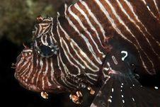 Free Common Lionfish Stock Image - 25305221
