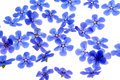 Free Forget Me Not Stock Photography - 25315572