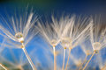 Free Dandelion Royalty Free Stock Images - 25315589