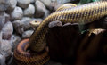 Free Dangerous Snake In City Zoo Royalty Free Stock Photos - 25318598
