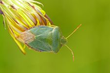 Free Shieldbug Royalty Free Stock Photo - 25313595