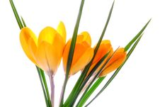 Free Crocus Stock Photography - 25315452