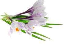 Free Crocus Stock Photo - 25316140