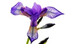 Free Iris Flower Stock Photos - 25316983