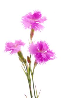 Free Pink Carnation Royalty Free Stock Photo - 25317395