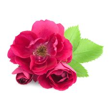 Free Beautiful  Rose Flowers With Leaves Stock Photography - 25318102