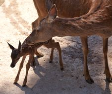 Deer With Fawn In The City Zoo Royalty Free Stock Photo