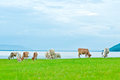 Free A Herd Of Cow Feeding Grass On The Lake Shore Royalty Free Stock Photo - 25329185