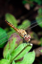 Free Dragonfly &x28;Insect&x29; Closed Up In Front View Royalty Free Stock Photo - 25329365