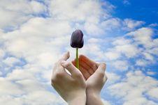 Free Black Tulip In Hands Stock Image - 25320481