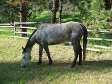 Free Dapple Gray Mare Stock Images - 25322334