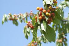 Free Sweet Cherry Tree Stock Image - 25324121