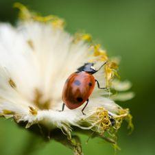 Free Ladybug On White Royalty Free Stock Images - 25324369