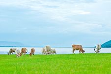 A Herd Of Cow Feeding Grass On The Lake Shore Royalty Free Stock Photo