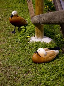 Free Duck Stock Image - 25337051