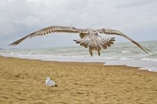 Free Flying Seagull Stock Images - 25337374