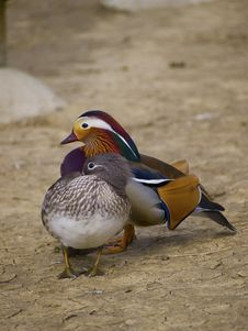 Free Mandarin Duck Royalty Free Stock Images - 25338399