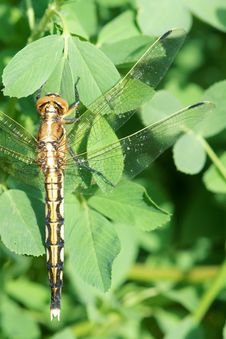 Free Dragonfly Royalty Free Stock Photography - 25338707