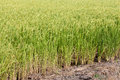 Free Green Paddy Rice In Field. Royalty Free Stock Image - 25347076