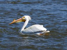 Free Swimming Pelican Royalty Free Stock Image - 25342656