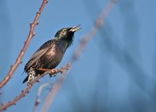Free Starling Stock Photos - 25345533