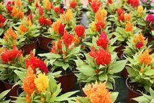 Free Celosia Argentea Royalty Free Stock Image - 25345966