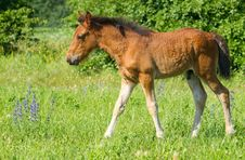 Baby Horse Stock Photography