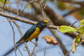 Free Spot-crowned Euphonia Royalty Free Stock Photography - 25353537