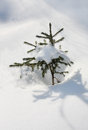 Free Small Spruce Tree With Fresh White Snow Stock Photo - 25355600