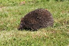 Free Hedgehog3 Stock Photo - 25351500
