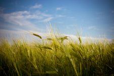 Free Barley Royalty Free Stock Photography - 25351687