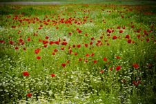 Free Poppy Field Stock Photography - 25352502